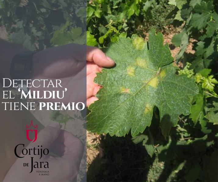 Cortijo de Jara premia la detección de la primera mancha de Mildiu