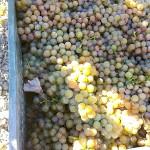 Vendimia cortijo de Jara 2014 uvas